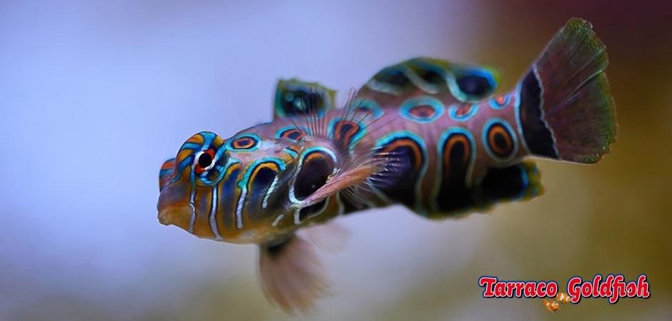 http://www.tarracogoldfish.com/wp-content/uploads/2011/11/Synchiropus-picturatus-1.jpg