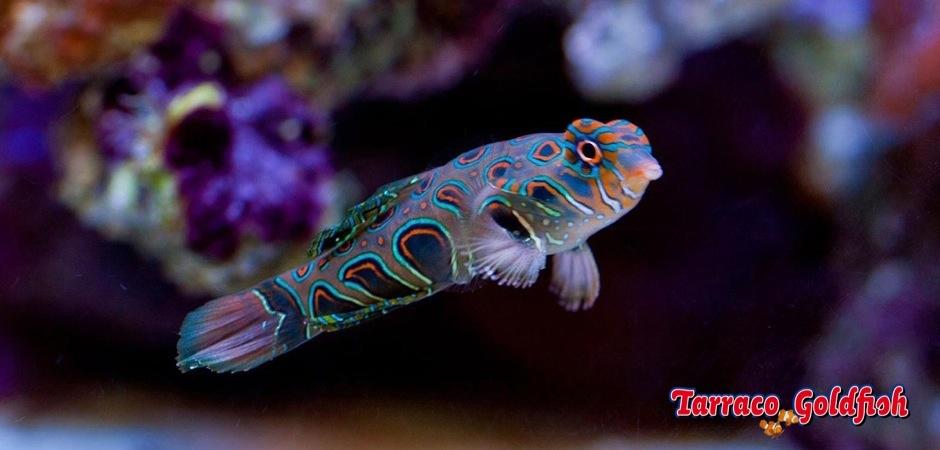 http://www.tarracogoldfish.com/wp-content/uploads/2011/11/Synchiropus-picturatus-2.jpg