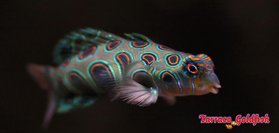 http://www.tarracogoldfish.com/wp-content/uploads/2011/11/Synchiropus-picturatus.jpg