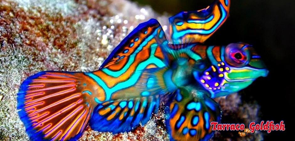 http://www.tarracogoldfish.com/wp-content/uploads/2011/11/Synchiropus-splendidus-1.jpg