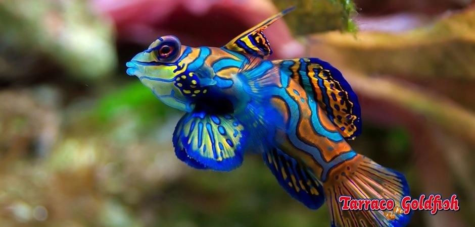 http://www.tarracogoldfish.com/wp-content/uploads/2011/11/Synchiropus-splendidus-3.jpg