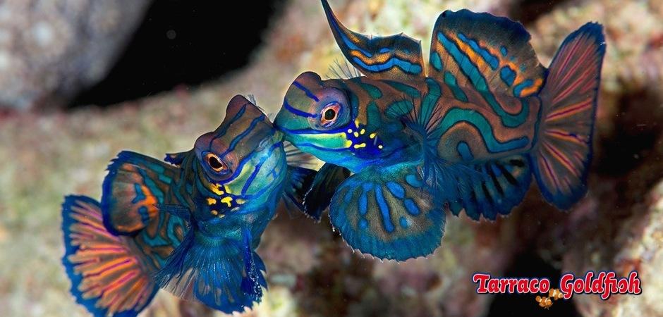 http://www.tarracogoldfish.com/wp-content/uploads/2011/11/Synchiropus-splendidus-4.jpg