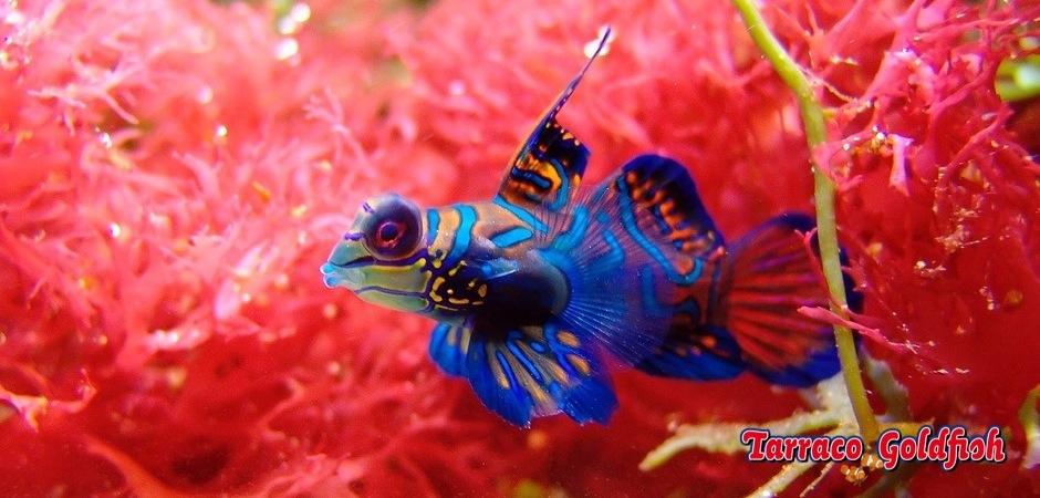 http://www.tarracogoldfish.com/wp-content/uploads/2011/11/Synchiropus-splendidus-5.jpg