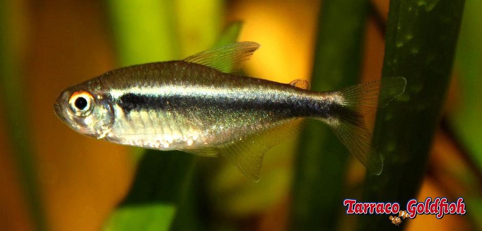 http://www.tarracogoldfish.com/wp-content/uploads/2012/05/HYPHESSOBRYCON-HERBERTAXELRODI-TarracoGoldfish-2.jpg