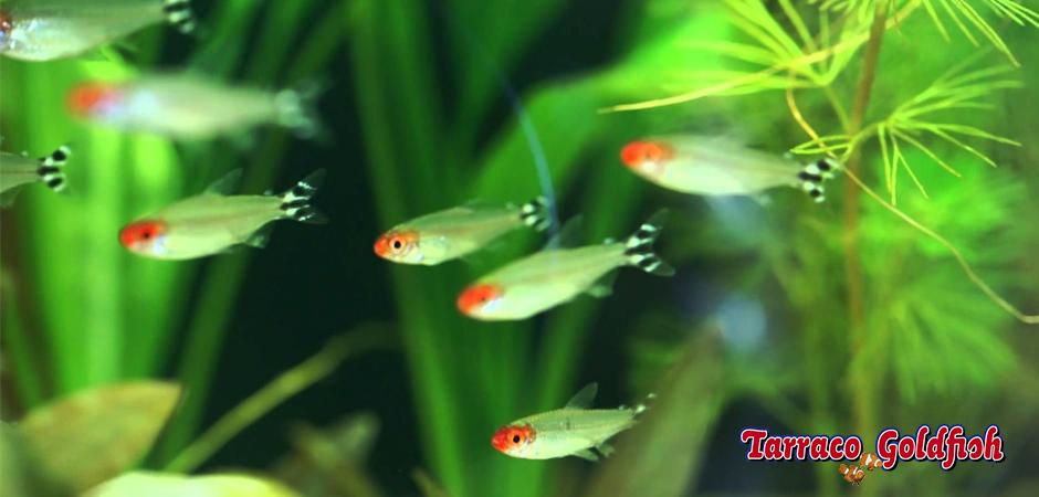 Hemigrammus rhodostomus Tarraco Goldfish 3
