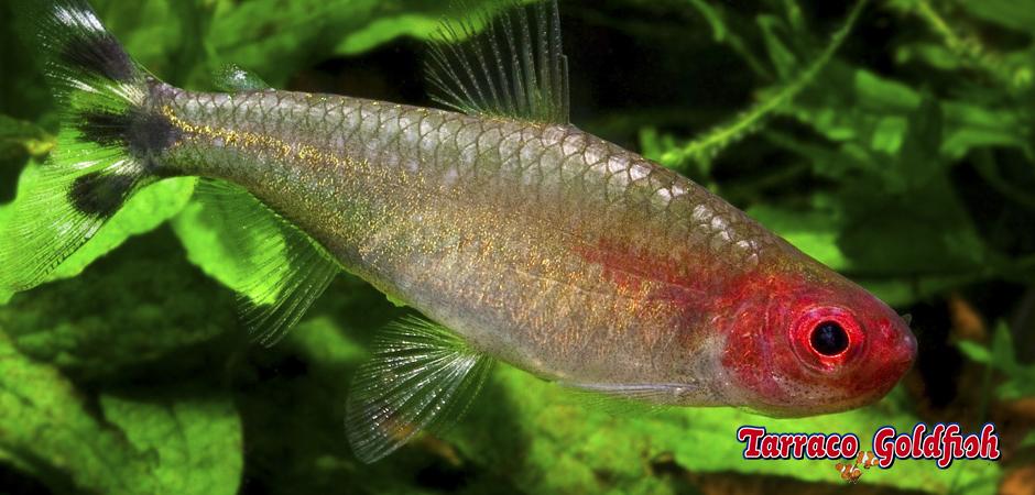 http://www.tarracogoldfish.com/wp-content/uploads/2012/05/Hemigrammus-rhodostomus-Tarraco-Goldfish.jpg