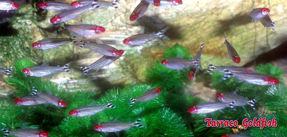 http://www.tarracogoldfish.com/wp-content/uploads/2012/05/Hemigrammus-rhodostomus-TarracoGoldfish-4.jpg