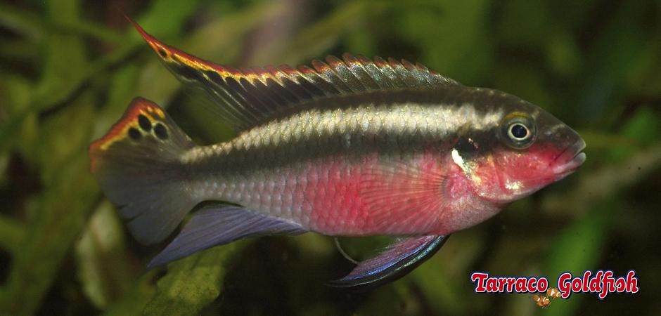 http://www.tarracogoldfish.com/wp-content/uploads/2012/05/PELVICACHROMIS-PULCHER-1-TarracoGoldfish.jpg