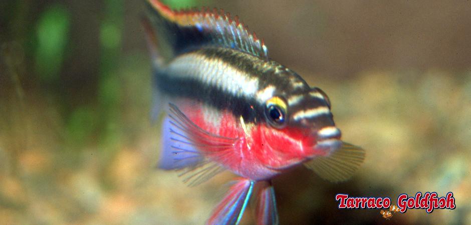 http://www.tarracogoldfish.com/wp-content/uploads/2012/05/PELVICACHROMIS-PULCHER-2-TarracoGoldfish.jpg