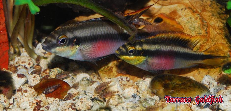 http://www.tarracogoldfish.com/wp-content/uploads/2012/05/PELVICACHROMIS-PULCHER-3TarracoGoldfish.jpg