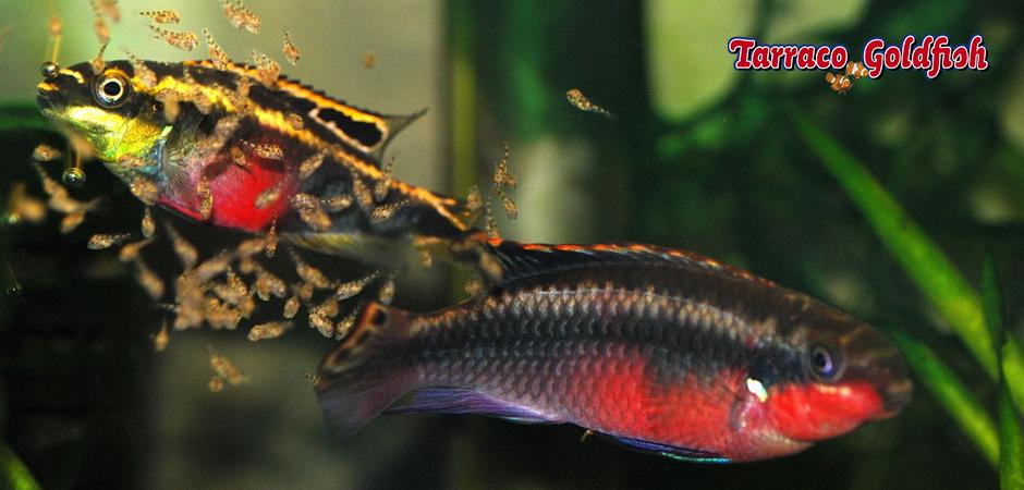 PELVICACHROMIS PULCHER TarracoGoldfish