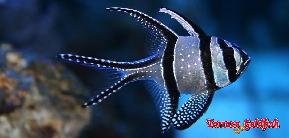 http://www.tarracogoldfish.com/wp-content/uploads/2012/05/Pterapogon-kauderni-3.jpg