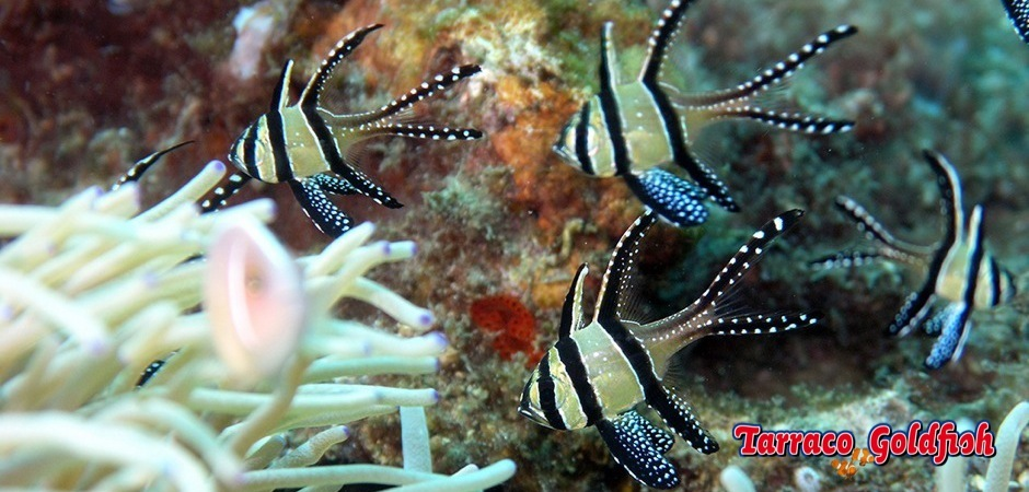 http://www.tarracogoldfish.com/wp-content/uploads/2012/05/Pterapogon_kauderni2.jpg