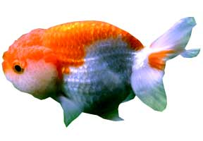 Goldfish tipos tarraco goldfish for Peces goldfish tipos