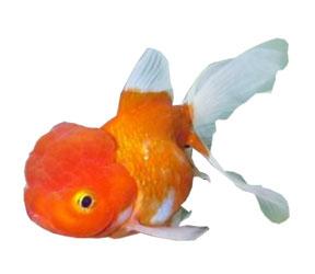Goldfish tipos tarraco goldfish for Enfermedades de peces goldfish