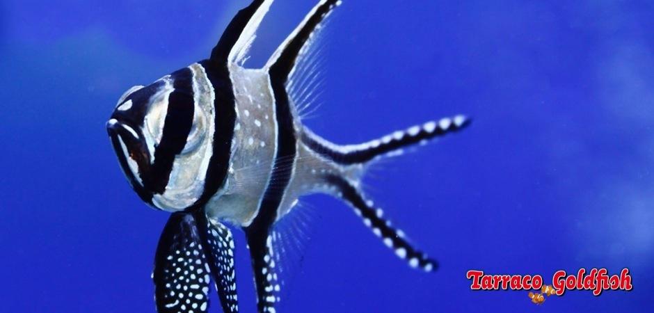 http://www.tarracogoldfish.com/wp-content/uploads/2012/05/pterapogon-kauderni.jpg
