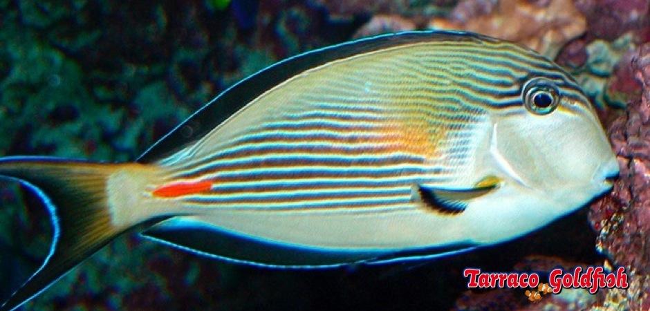 http://www.tarracogoldfish.com/wp-content/uploads/2012/07/Acanthurus-Sohal-02.jpg