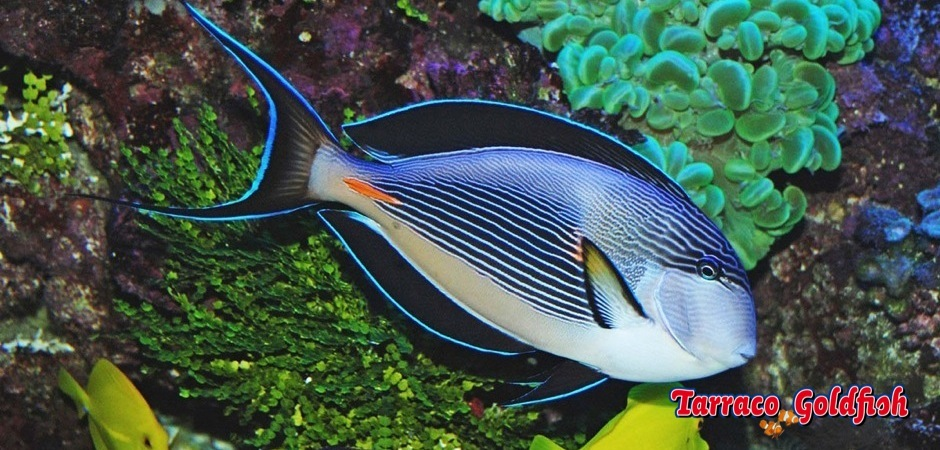 http://www.tarracogoldfish.com/wp-content/uploads/2012/07/Acanthurus-sohal-1.jpg