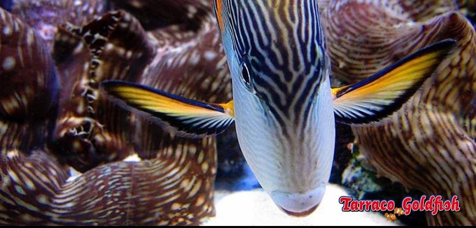 http://www.tarracogoldfish.com/wp-content/uploads/2012/07/Acanthurus-sohal-2.jpg
