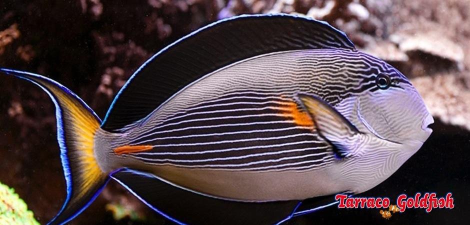 http://www.tarracogoldfish.com/wp-content/uploads/2012/07/Acanthurus-sohal.jpg