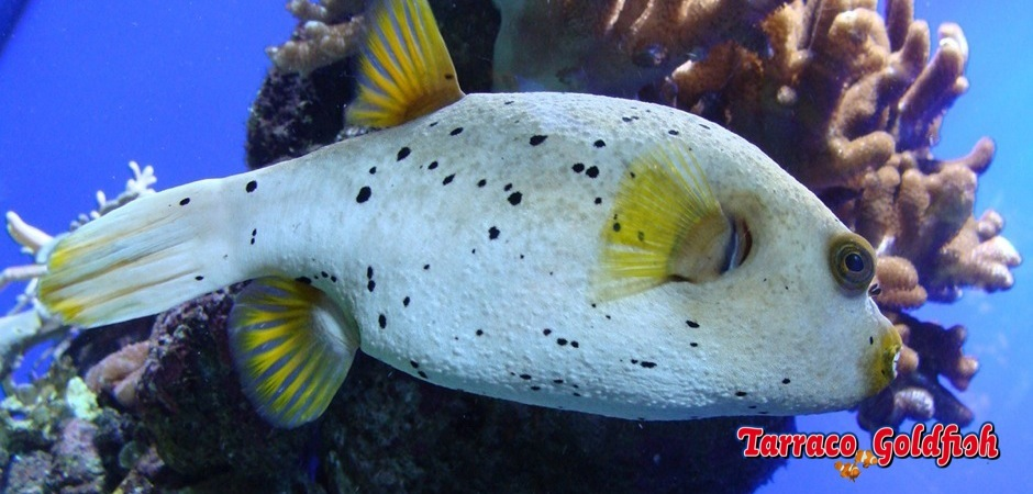 http://www.tarracogoldfish.com/wp-content/uploads/2012/07/Arothron-nigropunctatus-1.jpg