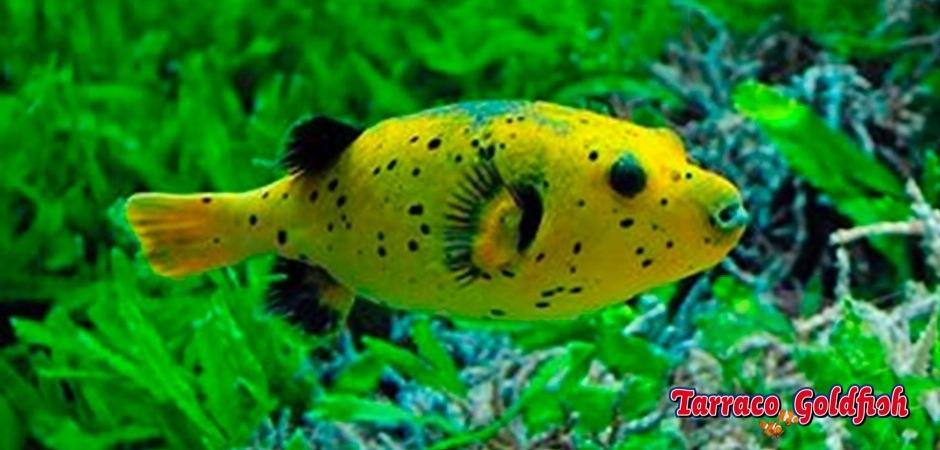 http://www.tarracogoldfish.com/wp-content/uploads/2012/07/Arothron-nigropunctatus-2.jpg
