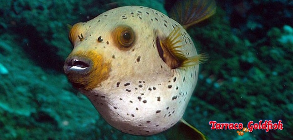 http://www.tarracogoldfish.com/wp-content/uploads/2012/07/Arothron-nigropunctatus-3.jpg