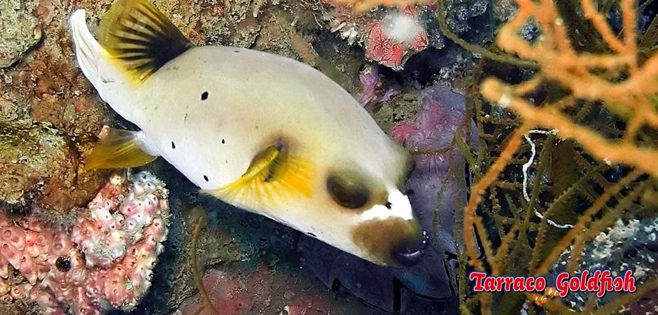 http://www.tarracogoldfish.com/wp-content/uploads/2012/07/Arothron-nigropunctatus-4.jpg