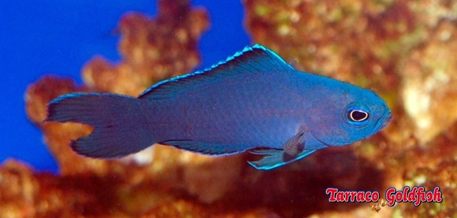 http://www.tarracogoldfish.com/wp-content/uploads/2012/07/Assessor-Macneilli-02.jpg
