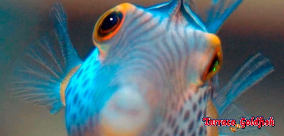 http://www.tarracogoldfish.com/wp-content/uploads/2012/07/Canthigaster-Valentini-0.jpg
