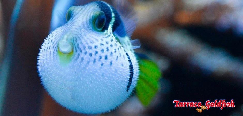 http://www.tarracogoldfish.com/wp-content/uploads/2012/07/Canthigaster-Valentini-00.jpg