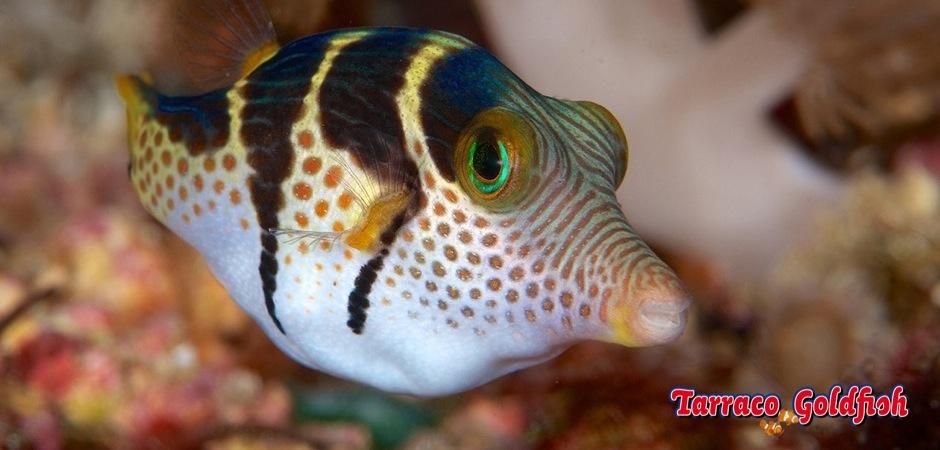 http://www.tarracogoldfish.com/wp-content/uploads/2012/07/Canthigaster-Valentini-1.jpg