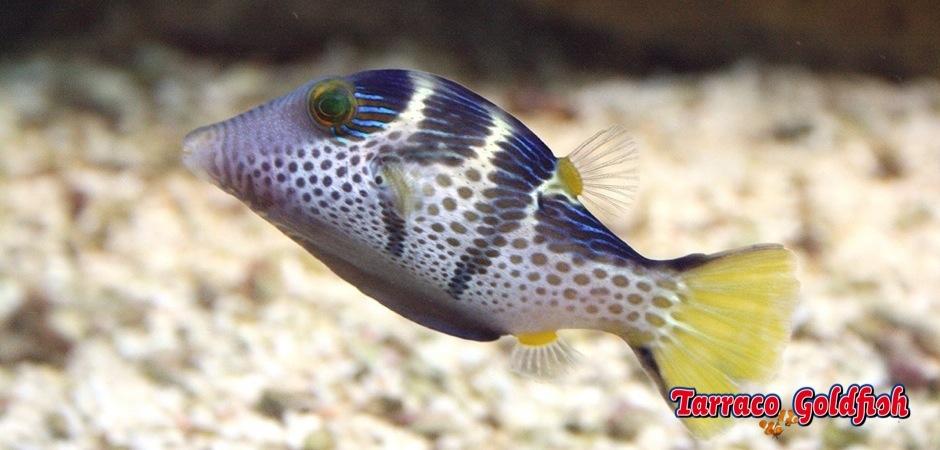 http://www.tarracogoldfish.com/wp-content/uploads/2012/07/Canthigaster_valentini_prg1.jpg
