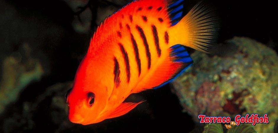 http://www.tarracogoldfish.com/wp-content/uploads/2012/07/Centropyge-Loriculus-2.jpg