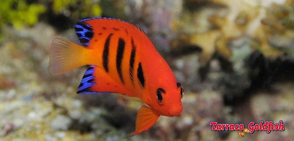 http://www.tarracogoldfish.com/wp-content/uploads/2012/07/Centropyge-Loriculus.jpg