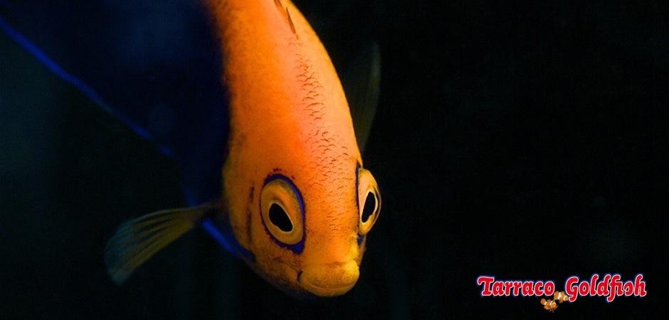 http://www.tarracogoldfish.com/wp-content/uploads/2012/07/Centropyge-acanthops-1.jpg