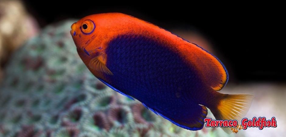 http://www.tarracogoldfish.com/wp-content/uploads/2012/07/Centropyge-acanthops-2.jpg