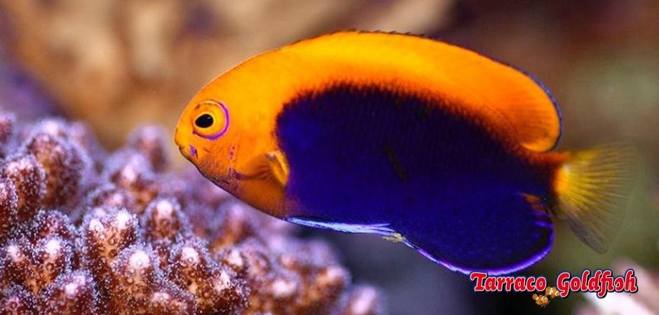 http://www.tarracogoldfish.com/wp-content/uploads/2012/07/Centropyge-acanthops-3.jpg