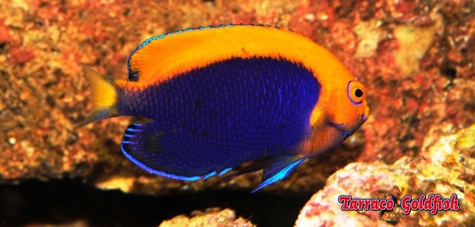 http://www.tarracogoldfish.com/wp-content/uploads/2012/07/Centropyge-acanthops.jpg