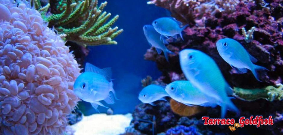 http://www.tarracogoldfish.com/wp-content/uploads/2012/07/Chromis-Viridis-01.jpg