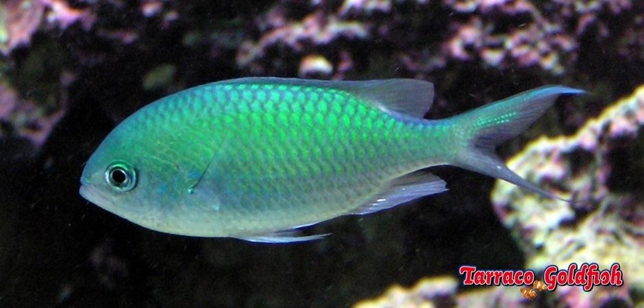 http://www.tarracogoldfish.com/wp-content/uploads/2012/07/Chromis-Viridis.jpg