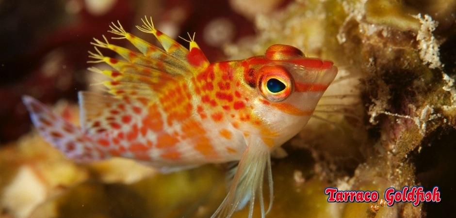 http://www.tarracogoldfish.com/wp-content/uploads/2012/07/Cirrhitichthys-falco-1.jpg