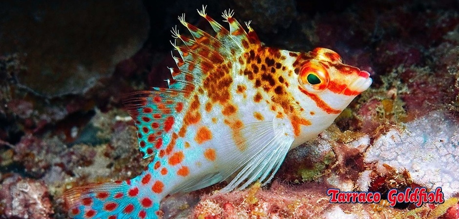 http://www.tarracogoldfish.com/wp-content/uploads/2012/07/Cirrhitichthys-falco-2.jpg