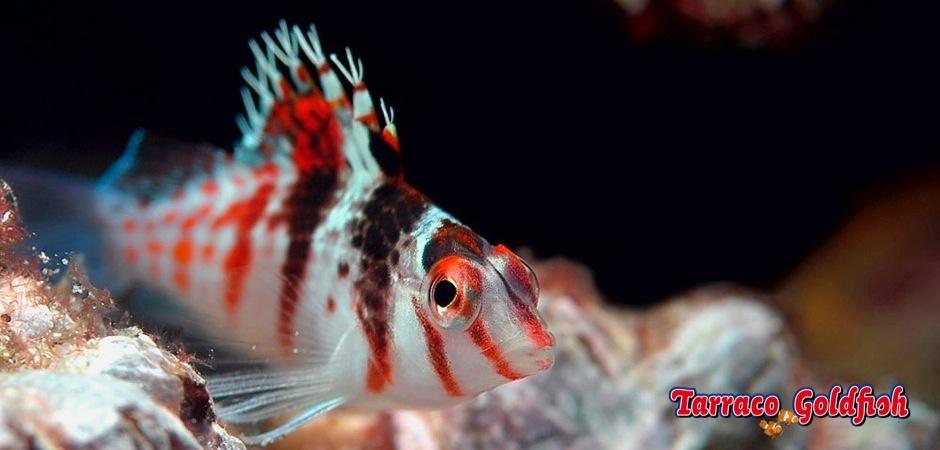 http://www.tarracogoldfish.com/wp-content/uploads/2012/07/Cirrhitichthys-falco-3.jpg