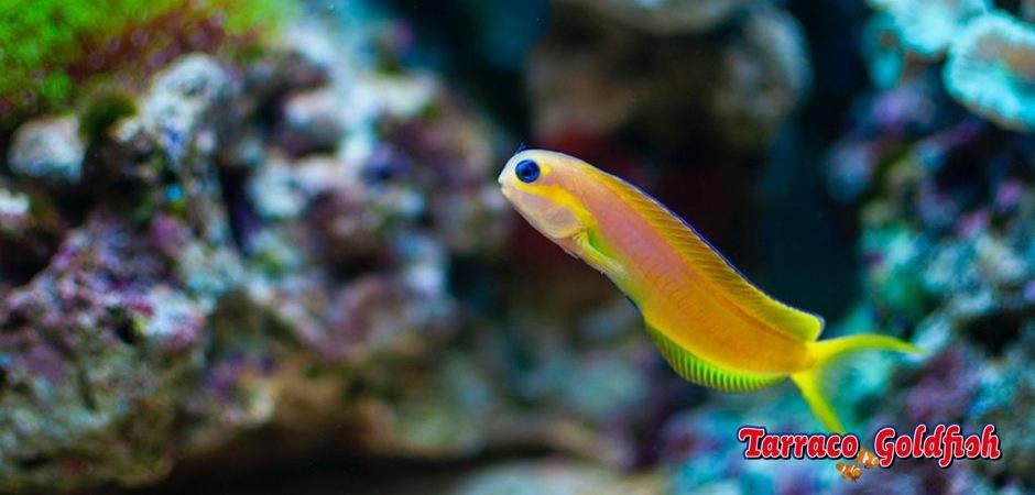 http://www.tarracogoldfish.com/wp-content/uploads/2012/07/Ecsenius-Midas-3.jpg
