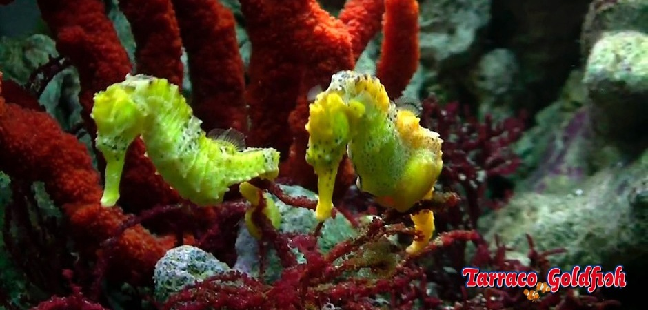 http://www.tarracogoldfish.com/wp-content/uploads/2012/07/Hippocampus-reidi.jpg