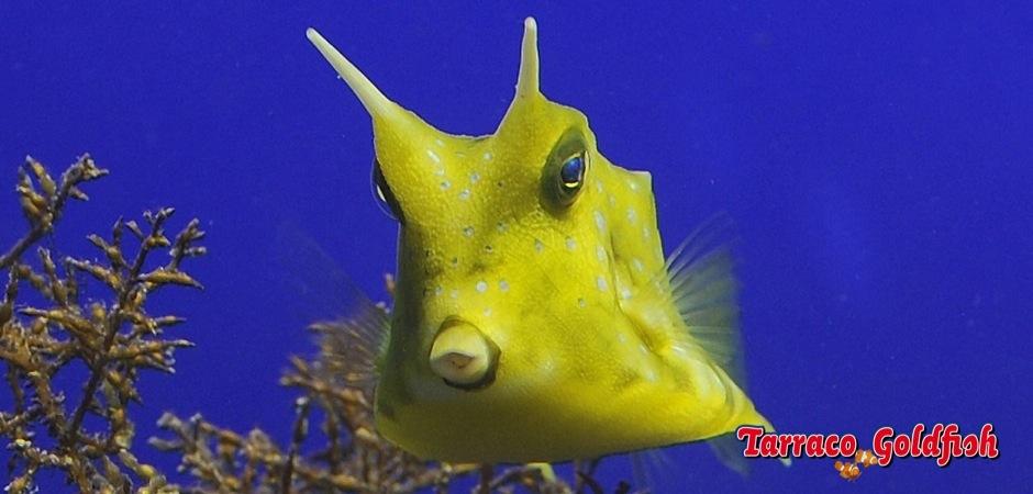 http://www.tarracogoldfish.com/wp-content/uploads/2012/07/Lactoria-cornuta-1.jpg
