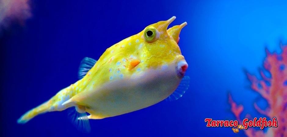 http://www.tarracogoldfish.com/wp-content/uploads/2012/07/Lactoria-cornuta-2.jpg