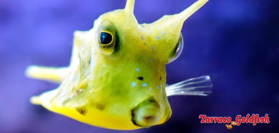 http://www.tarracogoldfish.com/wp-content/uploads/2012/07/Lactoria-cornuta-4.jpg