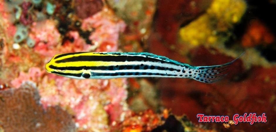 http://www.tarracogoldfish.com/wp-content/uploads/2012/07/Meiacanthus-Grammistes-1.jpg